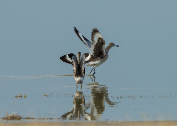 Willets at Killpecker