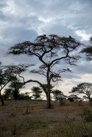 Baboon Tree